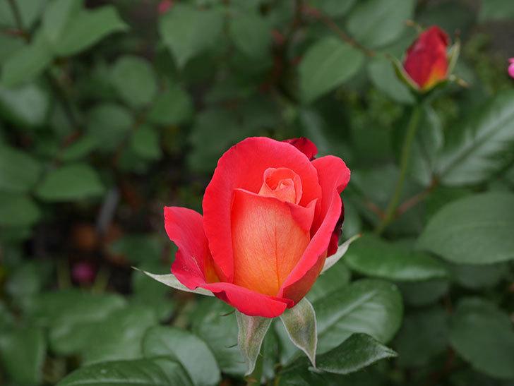 光彩(木立バラ)の花が少し咲いた。2019年-3.jpg