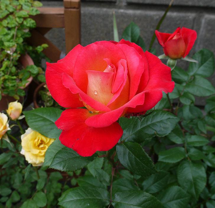 光彩(木立バラ)の花が綺麗に咲いた。2017年-2.jpg