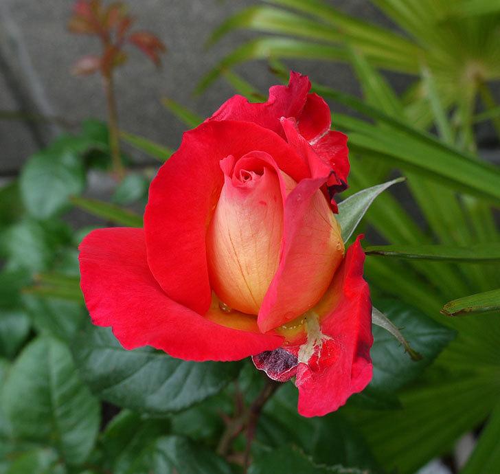 光彩(木立バラ)の花が綺麗に咲いた。2017年-6.jpg