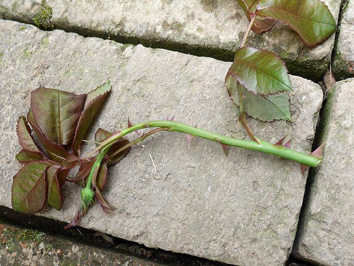 光彩(木立バラ)の蕾付の新枝がバラクキバチにまたやられて萎れてしまった。2018年-3.jpg
