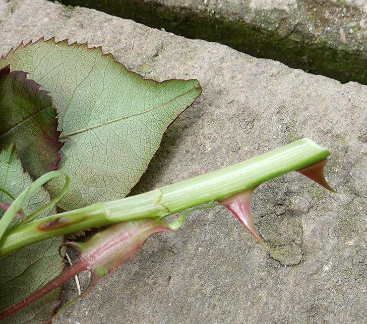 光彩(木立バラ)の蕾付の新枝がバラクキバチにまたやられて萎れてしまった。2018年-5.jpg