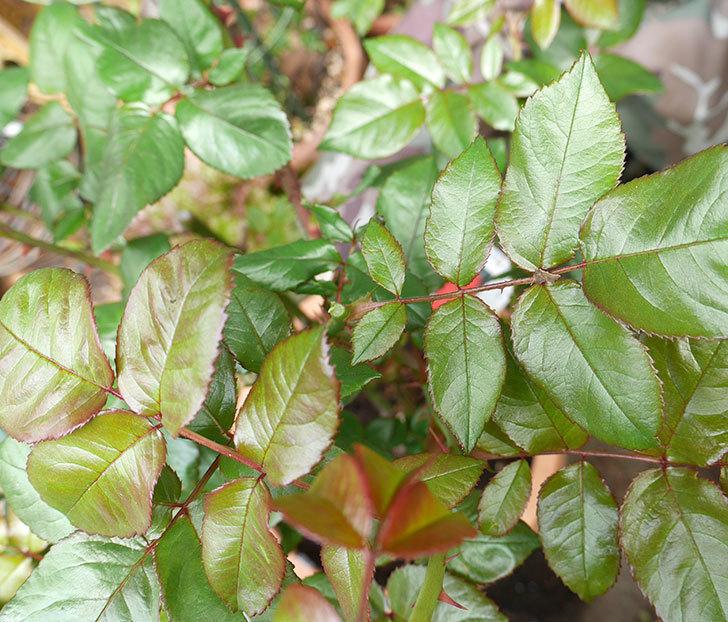 光彩(木立バラ)の蕾付の新枝がバラクキバチにまたやられて萎れてしまった。2018年-6.jpg