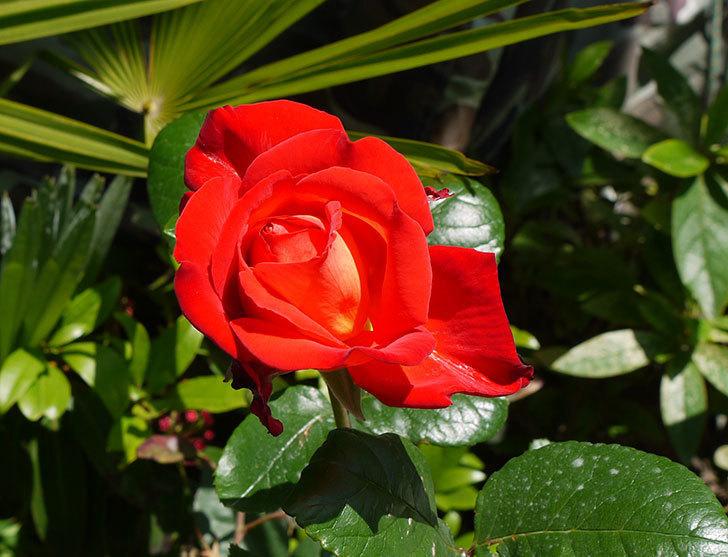 光彩(バラ)が咲いた。2016年-1.jpg