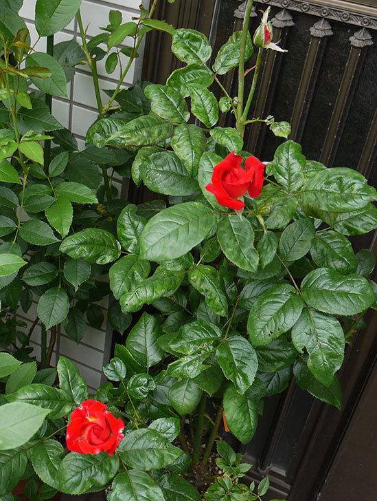 光彩(バラ)の2番花が咲き始めた3.jpg
