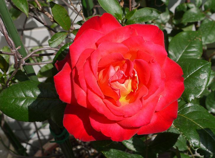 光彩(バラ)の花がでかくて迫力がある。2016年-1.jpg