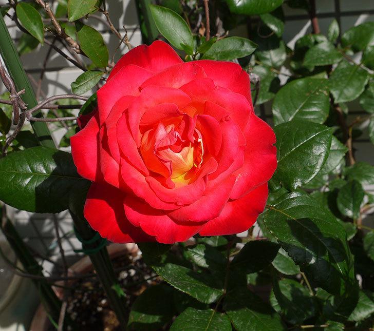 光彩(バラ)の花がでかくて迫力がある。2016年-2.jpg