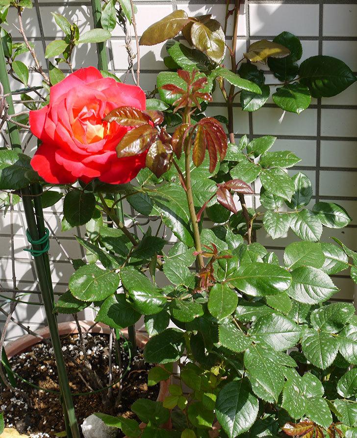 光彩(バラ)の花がでかくて迫力がある。2016年-3.jpg