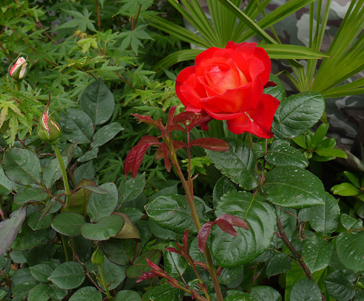 光彩(バラ)の花が大きく咲いた。2016年-2.jpg