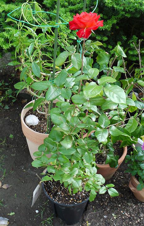光彩(バラ)をスリット鉢に植え替えた1.jpg