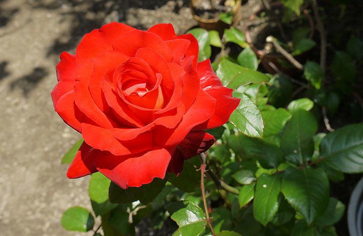 光彩(バラ)をスリット鉢に植え替えた5.jpg