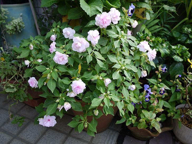 八重咲きのインパチェンスが咲いた1.jpg