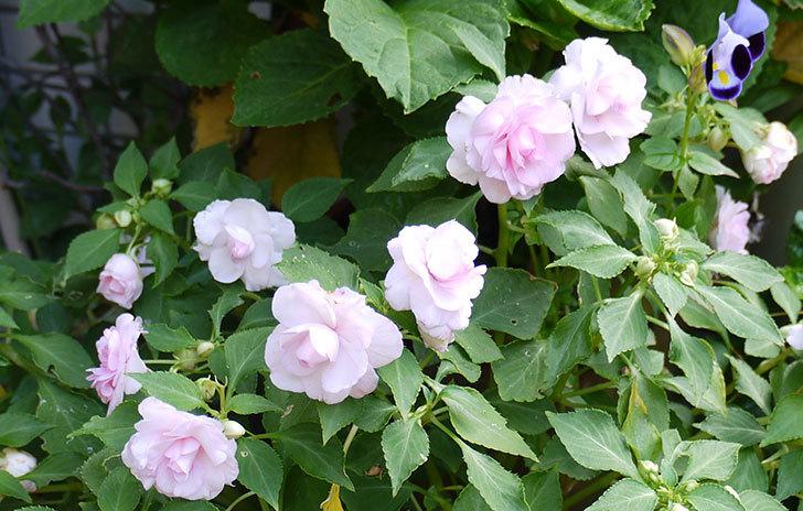 八重咲きのインパチェンスが咲いた2.jpg