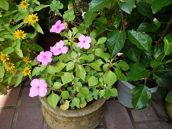 八重咲きのインパチェンスが咲いた4.jpg