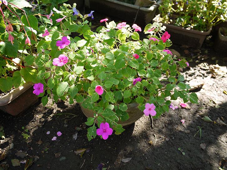 八重咲きのインパチェンスが咲いた5.jpg
