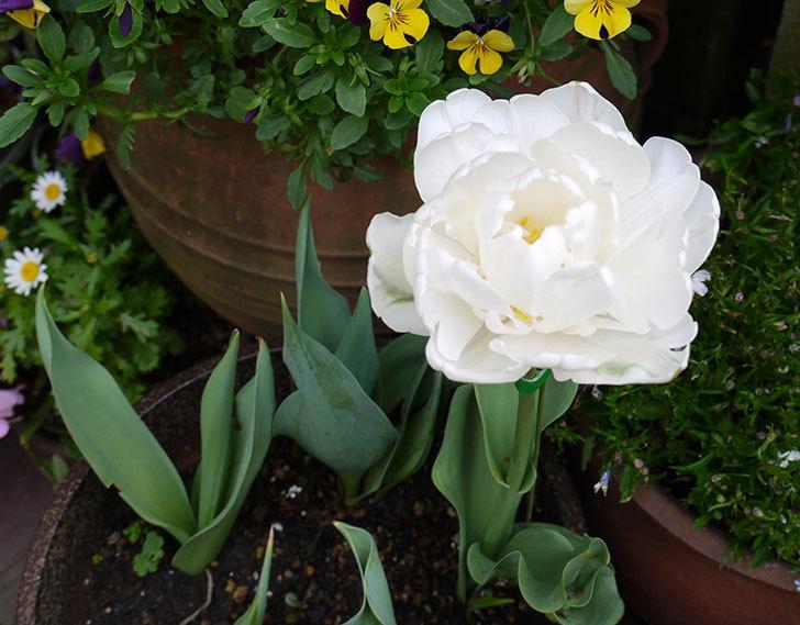八重咲きの白いチューリップ-マウントタコマが咲いた1.jpg