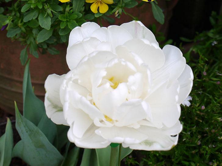 八重咲きの白いチューリップ-マウントタコマが咲いた2.jpg