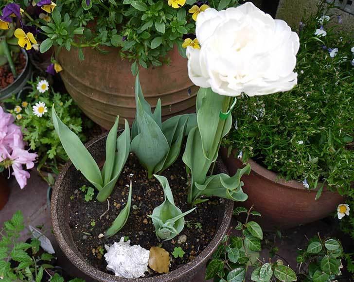 八重咲きの白いチューリップ-マウントタコマが咲いた3.jpg