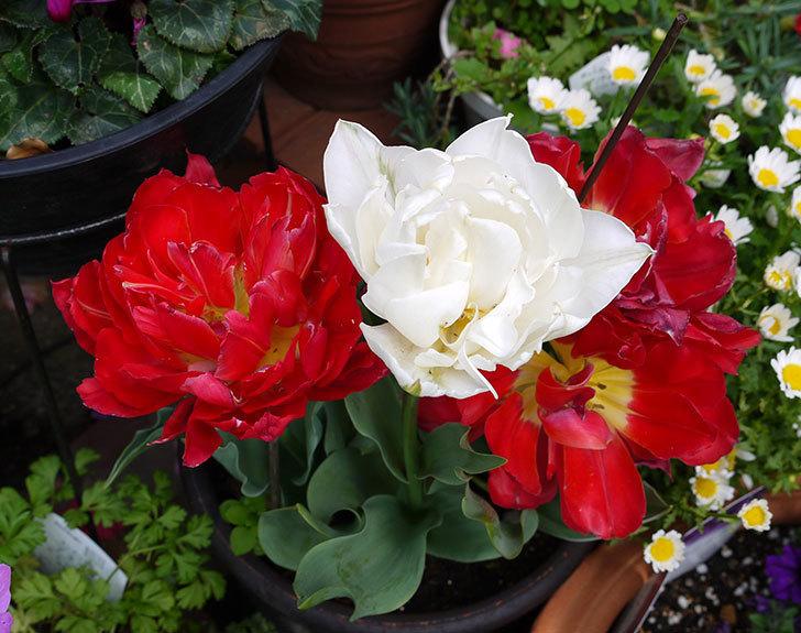 八重咲きの白いチューリップ-マウントタコマが咲いた4.jpg
