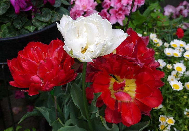 八重咲きの白いチューリップ-マウントタコマが咲いた5.jpg