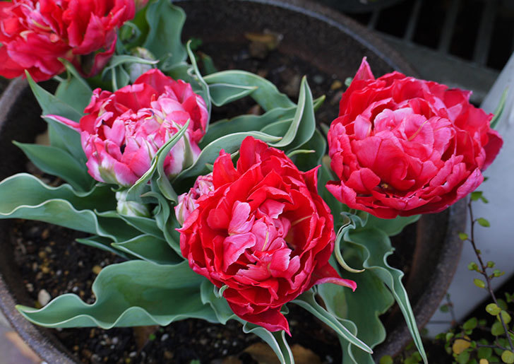 八重咲きの赤いチューリップが咲いた。2015年-2-1.jpg
