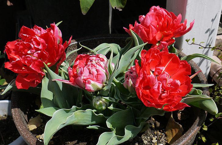 八重咲きの赤いチューリップが咲いた。2015年-2-2.jpg