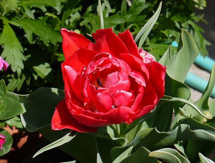 八重咲きの赤いチューリップが咲いた。2015年-2-6.jpg