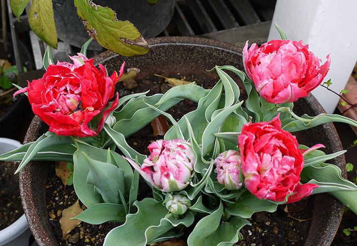 八重咲きの赤いチューリップが咲き始めた。2015年-1.jpg