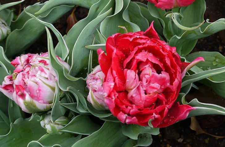 八重咲きの赤いチューリップが咲き始めた。2015年-2.jpg