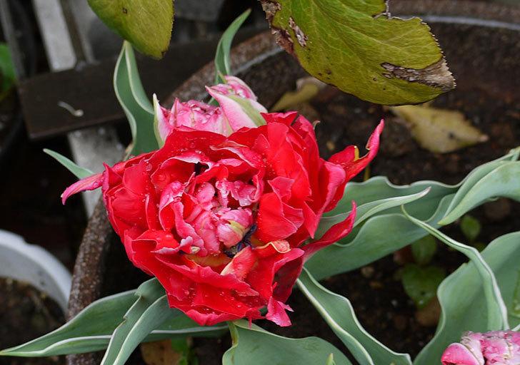 八重咲きの赤いチューリップが咲き始めた。2015年-3.jpg
