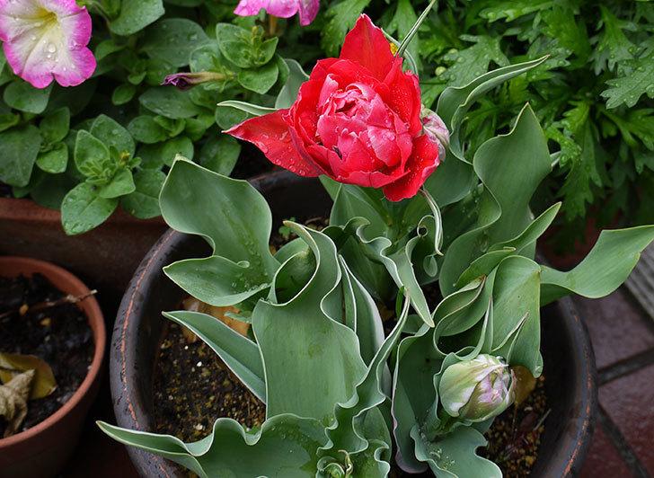 八重咲きの赤いチューリップが咲き始めた。2015年-4.jpg