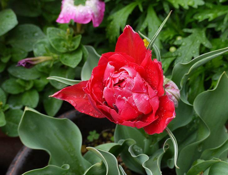 八重咲きの赤いチューリップが咲き始めた。2015年-5.jpg