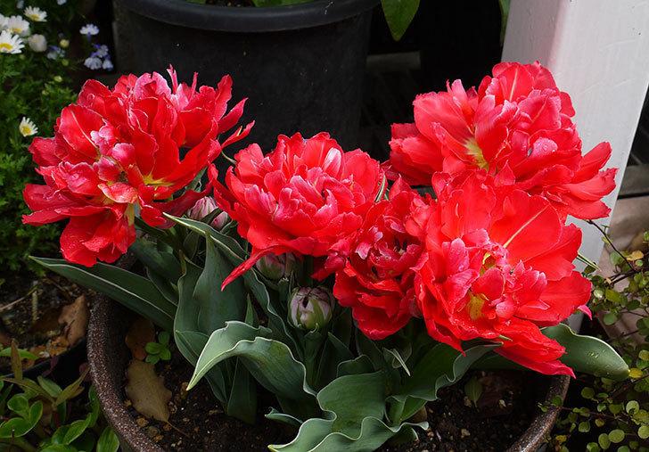 八重咲きの赤いチューリップが更に咲いた。2015年-1.jpg