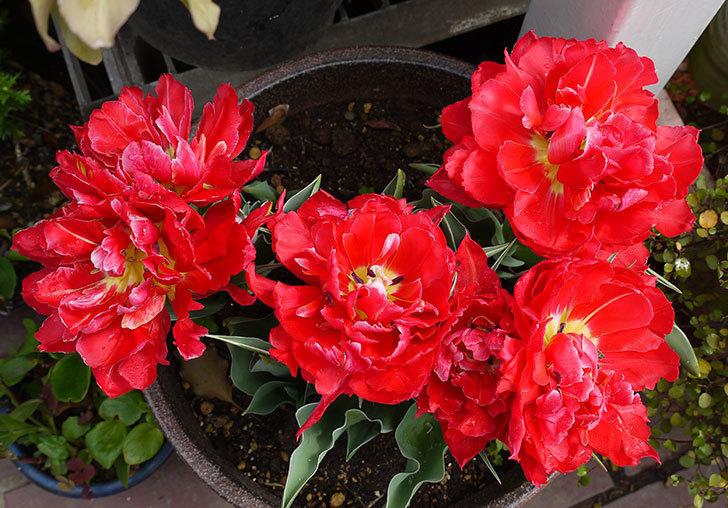 八重咲きの赤いチューリップが更に咲いた。2015年-2.jpg