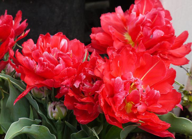 八重咲きの赤いチューリップが更に咲いた。2015年-3.jpg