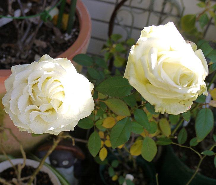 冬だけど白いミニバラがまだ咲いている。2017年-1.jpg