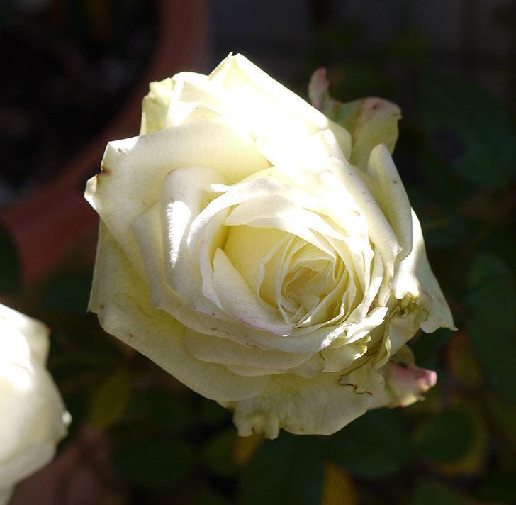 冬だけど白いミニバラがまだ咲いている。2017年-3.jpg