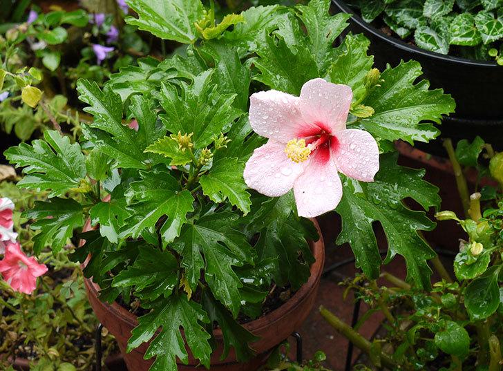 冬越しで弱っていたハイビスカスが咲いた1.jpg