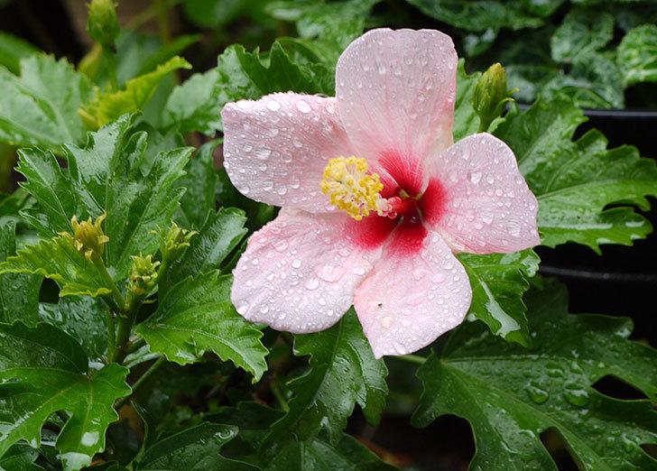 冬越しで弱っていたハイビスカスが咲いた2.jpg