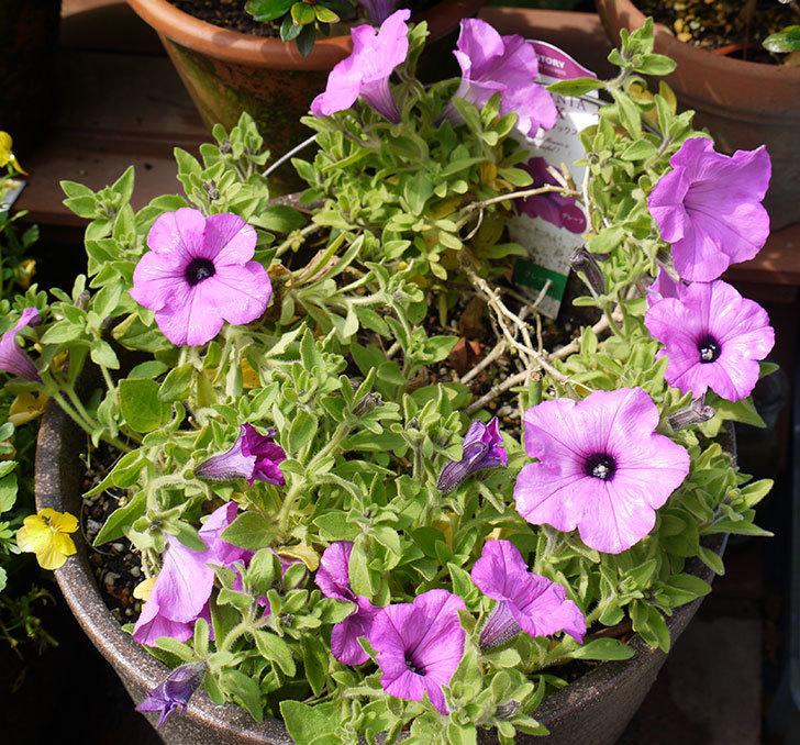 冬越しに成功したサフィニアマックス-グレープの花が咲き出した。2016年-1.jpg