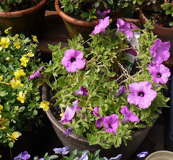 冬越しに成功したサフィニアマックス-グレープの花が咲き出した。2016年-2.jpg