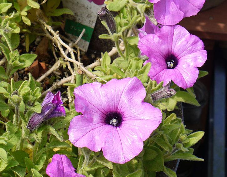 冬越しに成功したサフィニアマックス-グレープの花が咲き出した。2016年-3.jpg