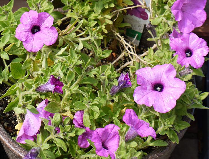 冬越しに成功したサフィニアマックス-グレープの花が咲き出した。2016年-4.jpg
