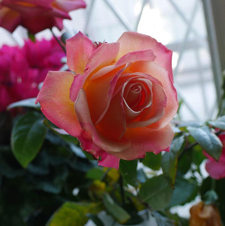 切り花にした光彩(木立バラ)の花が綺麗に咲いた。2017年-1.jpg