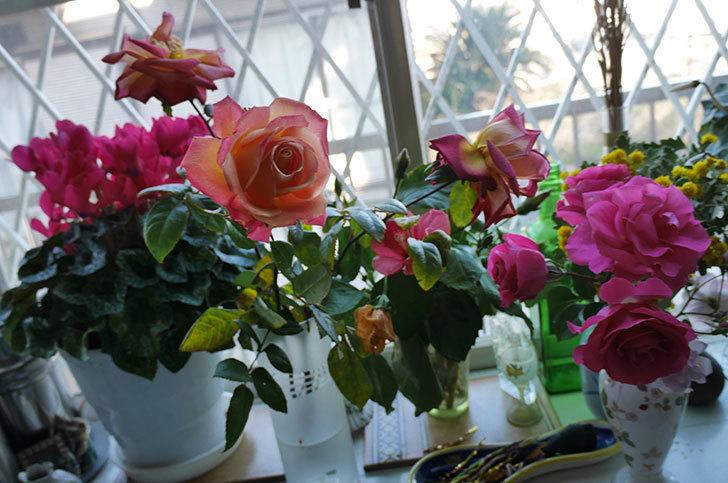切り花にした光彩(木立バラ)の花が綺麗に咲いた。2017年-3.jpg
