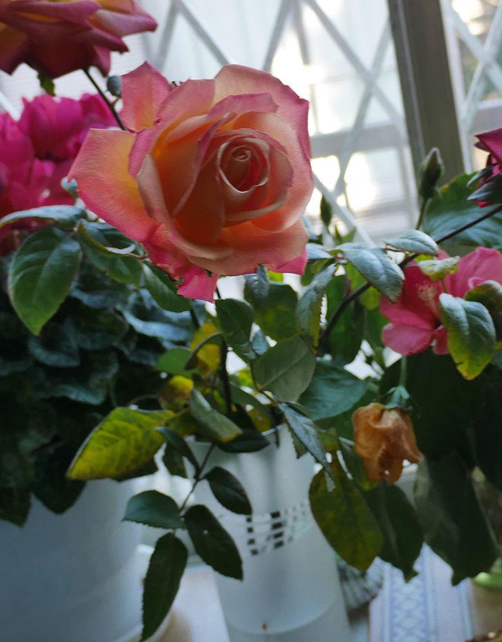 切り花にした光彩(木立バラ)の花が綺麗に咲いた。2017年-4.jpg