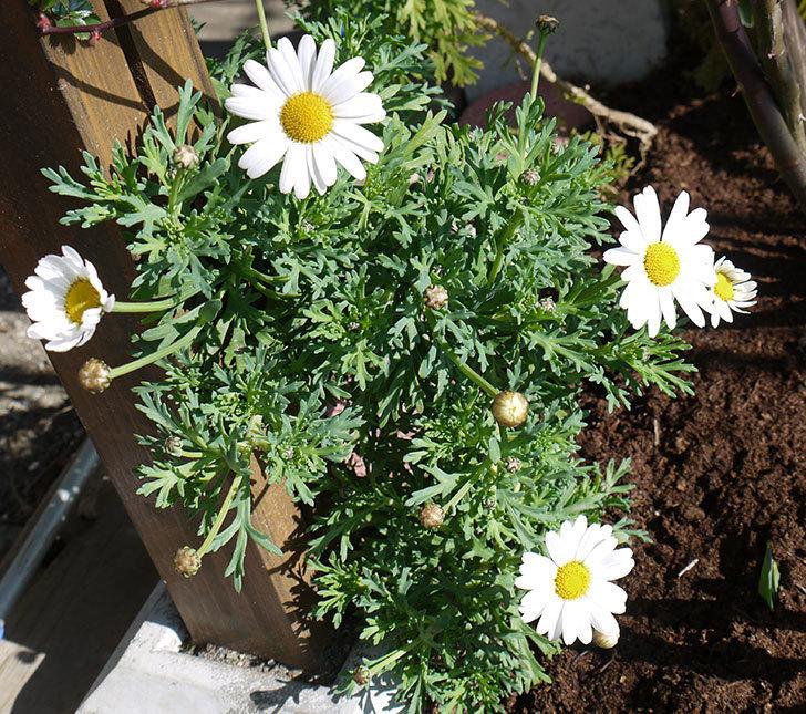 去年挿し木した白いマーガレットの花が咲いた。2017年-1.jpg