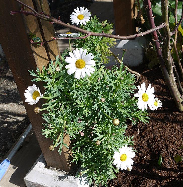 去年挿し木した白いマーガレットの花が咲いた。2017年-2.jpg
