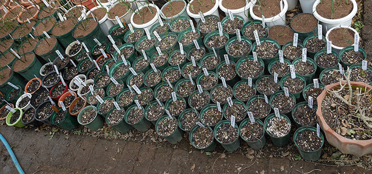 去年挿し木にした苗の植え替えした。2018年-1.jpg