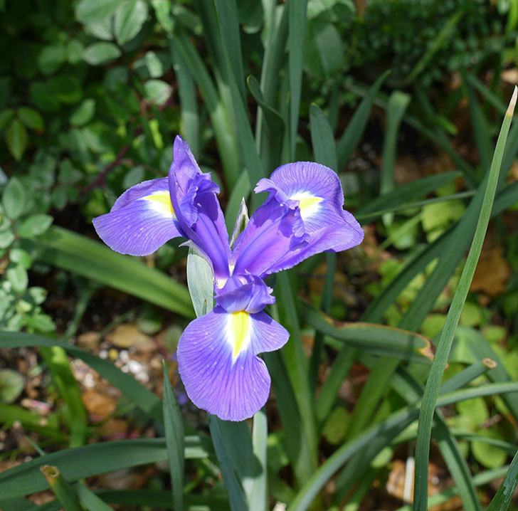 去年植えた紫のアイリスの花が咲いた。2017年-4.jpg
