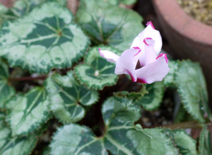 去年買ったガーデンシクラメンの花が1個だけ咲いた。2015年-1.jpg